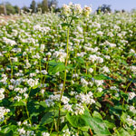 Buckwheat Cover Crop