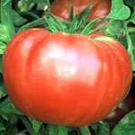 Grafted Brandywine Tomato