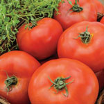 Grafted Beefsteak Tomato