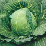 Late Flat Dutch Premium Cabbage