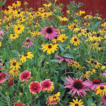 Wildflower Native Perennial Mix