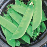 Avalanche Snow Pea