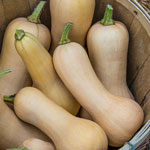 Chieftain Hybrid Winter Squash