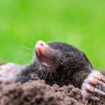 Mole-Relief Dry Mole Repellent