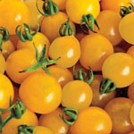 Organic Yellow Perfection Tomato