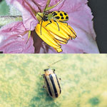 Gardens Alive Sure-Catch™ Cucumber Beetle Trap