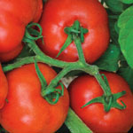 Container Czech Bush Tomato