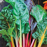 Organic Improved Rainbow Mix Swiss Chard