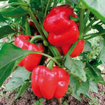 Container Organic Olympus Sweet Pepper