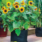 Organic Tall Container Sunflower Mix