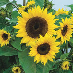 Container Solar Chocolate Gold Sunflower