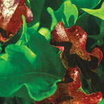 Organic Red and Green Salad Bowl Lettuce Mat