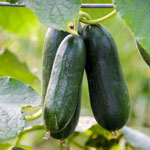 Container Cucumber Bush Pickle Hybrid