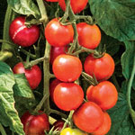 Container Apricot Dream Tomato
