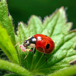 Sta-Home™ Lady Beetles