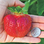 Cabot Junebearing Strawberry