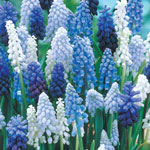 Grape Hyacinth Super Grab Bag