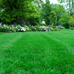 Southern Turf Alive!™ Grass Seed Mixture