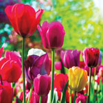 Mixed Long-Stem Perennial Tulip Super Bag