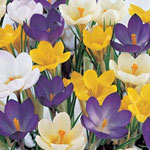 All Color Species Crocus Mixture