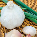 Silver Rose Garlic
