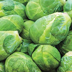 Churchill Hybrid Brussel Sprouts