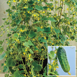 Container Organic Little Leaf Cucumber