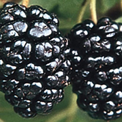 Dwarf Everbearing Mulberry