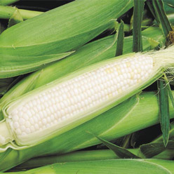 Organic Sugar Pearl Sweet Corn