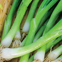 Organic Evergreen Bunching Onion