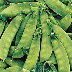 Organic Oregon Sugar Pod II Snow Pea