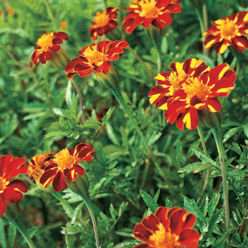 Organic Red Metamorph Marigold