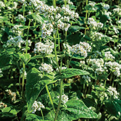 Organic Buckwheat Cover Crop