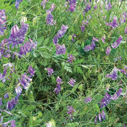 Organic Hairy Vetch Cover Crop