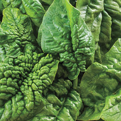 Organic Bloomsdale Spinach