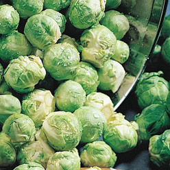 Organic Nautic F1 Brussels Sprouts