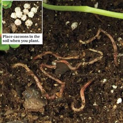 Encapsulated Compost Worms