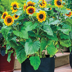 Container Solar Flash Sunflower
