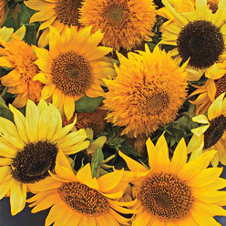 Organic Ornamental Dwarf Sunflower Mixture