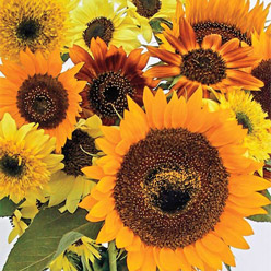 Organic Ornamental Tall Sunflower Mixture