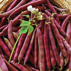 Organic Red Swan Coloured Snap Bush Bean
