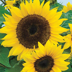 Organic Compact Container Sunflower Mix