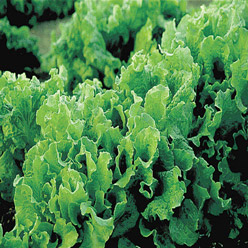 Organic Black Seeded Simpson Lettuce