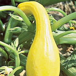 Organic Early Summer Crookneck Squash