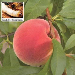 Peach Tree Borer Trap