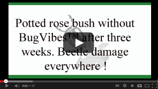 BugVibes on Roses with Japanese Beetles